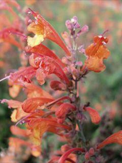 Graines d'Agastache aurantiaca Apricot Sprite - Agastache doré