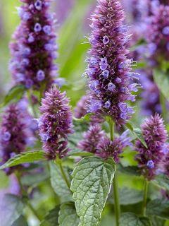Agastache 'Beelicious Purple'