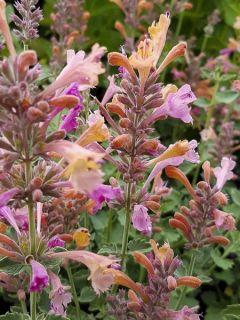 Agastache Kudos Ambrosia - Agastache hybride