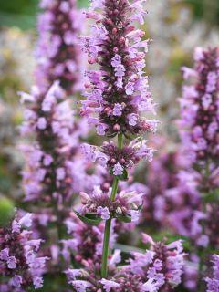 Agastache Poquito Lavender - Agastache hybride