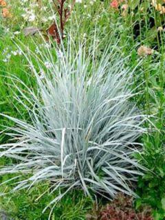 Elymus magellanicus - Agropyron
