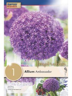 Ail d'ornement - Allium Ambassador