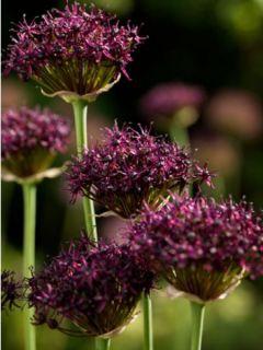 Allium atropurpureum - Ail d'ornement