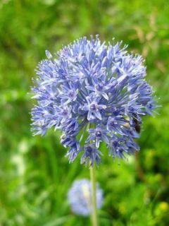 Allium caeruleum - Ail d'ornement bleu