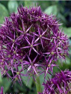 Allium Christophii ou Albopilosum
