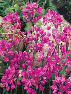 Ail d'ornement - Allium oreophilum