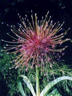 Ail d'ornement - Allium schubertii