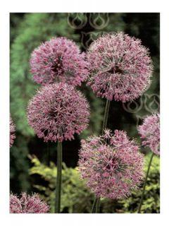 Allium Macleanii ou Elatum