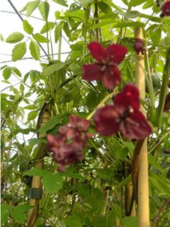 Pois de senteur Painted Lady - Lathyrus odoratus grandiflora