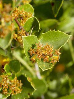 Rhamnus alaternus - Alaterne