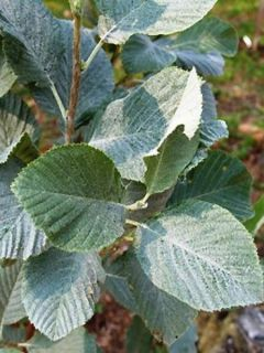 Sorbier blanc Magnifica - Sorbus aria Magnifica