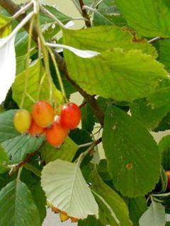 Sorbus aria - Alisier blanc