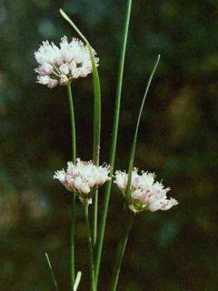 Ail d'ornement - Allium senescens ssp. montanum