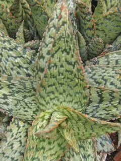 Aloe flocon de neige