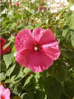 Hibiscus moscheutos PLANET® Griotte TANGRI - Hibiscus des marais rouge cerise.