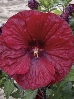 Hibiscus moscheutos Red Wine - Hibiscus des marais