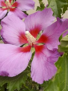 Hibiscus Rose Moon - Althéa rose à coeur rouge