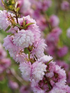 Amandier à fleurs - Prunus triloba