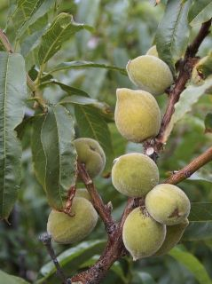 Amandier Texas - Prunus dulcis