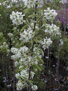 Amelanchier canadensis RAINBOW PILLAR® - Amélanchier du Canada