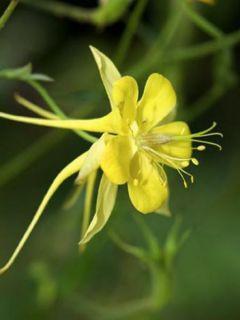 Ancolie à fleurs jaunes 'Yellow Queen'
