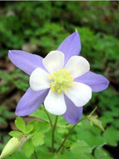 Ancolie Blue Star - Aquilegia (x) hybrida