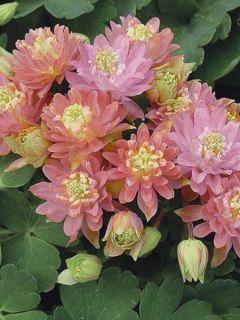 Ancolie Clementine Salmon Rose - Aquilegia vulgaris
