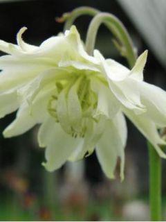 Graines d'Aquilegia x hybrida Green Apples - Ancolie des jardins hybride