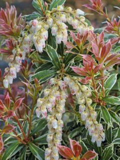 Andromède du Japon - Pieris japonica Little Heath Variegata