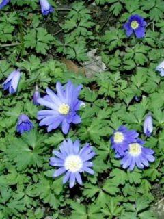 Anémone de Grèce 'Blue Shades'