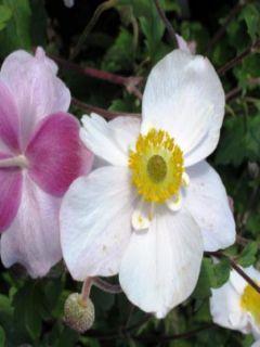 Anemone hybride Dainty Swan - Anémone japonaise bicolore