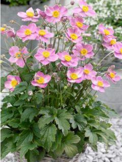 Anémone du Japon Fantasy Cinderella - Anemone hupehensis var.japonica
