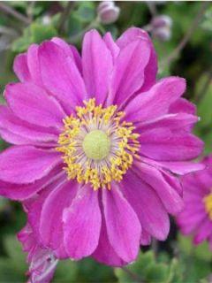 Anémone hupehensis var. japonica Pamina