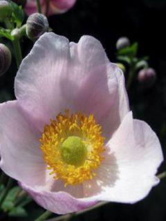 Anémone japonaise Robustissima