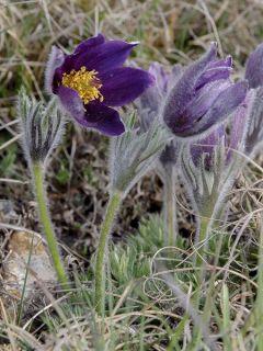 Anémone pulsatille violette - Pulsatilla vulgaris Violet