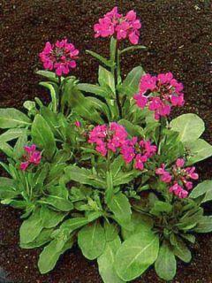 Arabis blepharophylla Frühlingzauber - Arabette de Californie