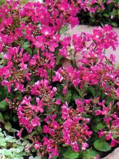 Arabis blepharophylla Rote Sensation
