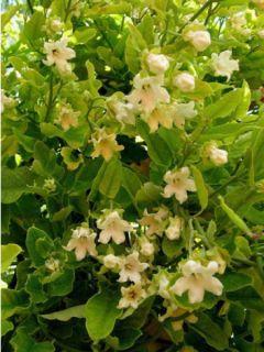 Araujia sericofera alba, plante cruelle