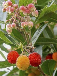 Arbutus unedo Roselily ® - Arbousier