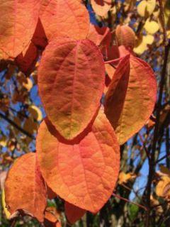 Arbre à caramel - Cercidiphyllum japonicum, en pot de 15L