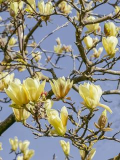 Magnolia acuminata Butterfly - Arbre à cornichons