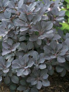 Cotinus coggygria Winecraft Black - Arbre à perruque