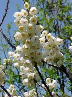 Halesia carolina - Arbre aux cloches d'argent