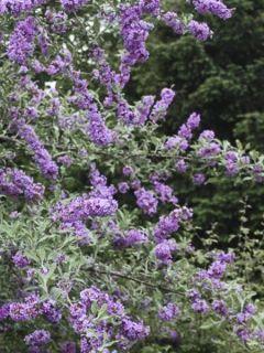 Buddleia alternifolia Unique - arbre aux papillons à feuilles alternes