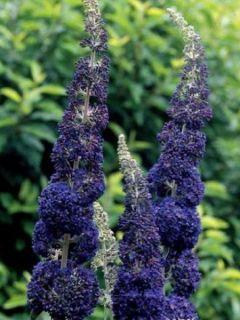 Arbre aux papillons 'Adonis Blue'®