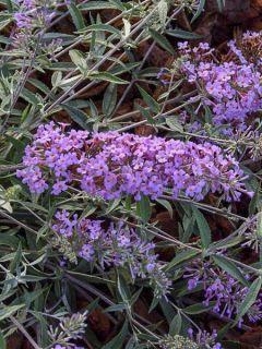 Arbre aux papillons 'Free Petite Lavender Flow'