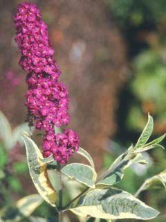 Buddleia davidii Harlequin - Arbre à papillons panaché