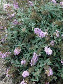 Buddleia Lilac Chip - Arbre aux papillons nain