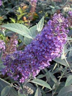 Buddleia Lochinch  - Arbre aux papillons