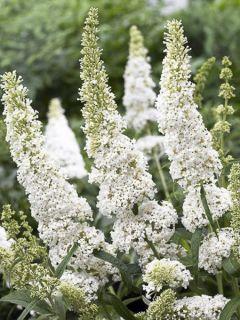 Buddleia davidii White Ball - Buddléia de David à fleurs blanches